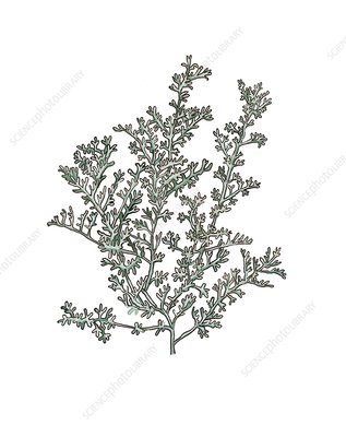 Artemisia gallica, illustration
