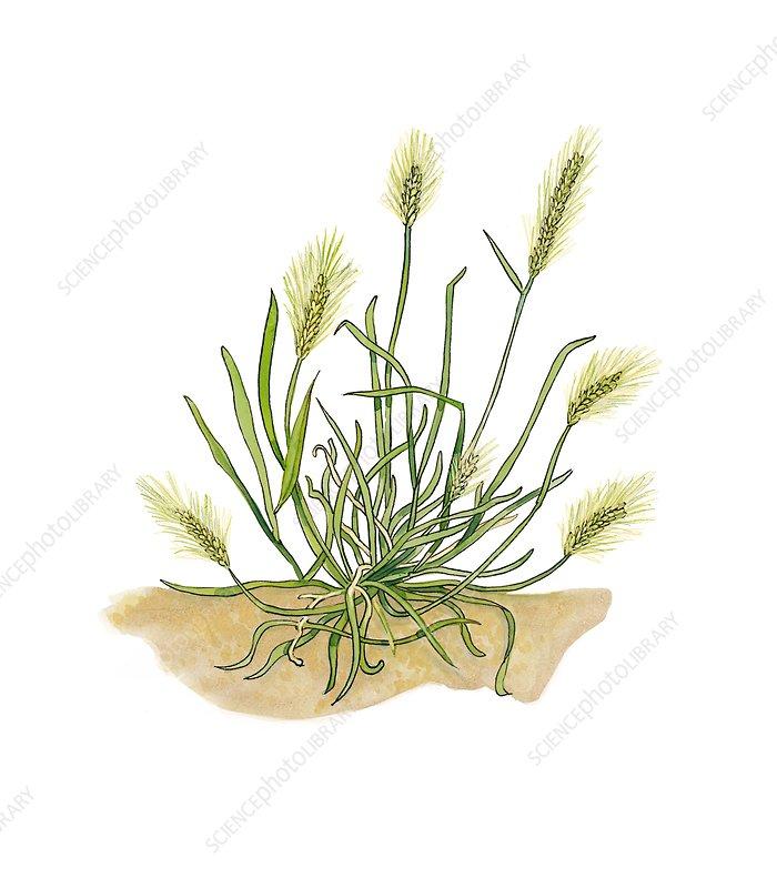 Sea barley Hordeum marinum in flower