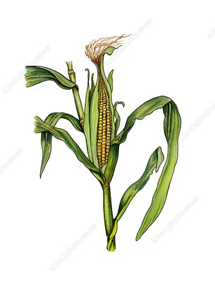 Maize Zea mays in fruit, illustration