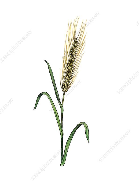 Barley Hordeum vulgare in flower