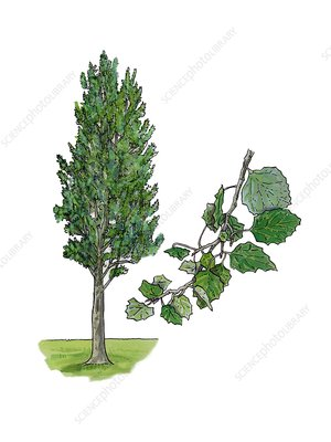 White poplar Populus alba, illustration