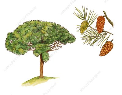 Stone pine Pinus pinea, illustration