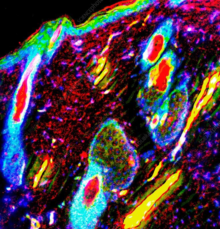 Skin anatomy, fluorescence light micrograph