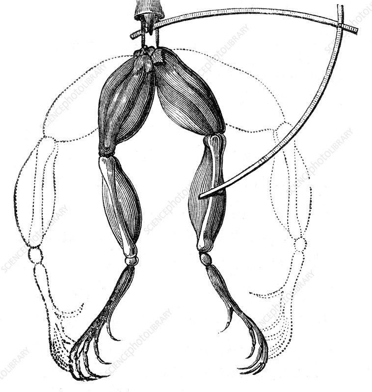 Galvani Frog Experiment, 1780