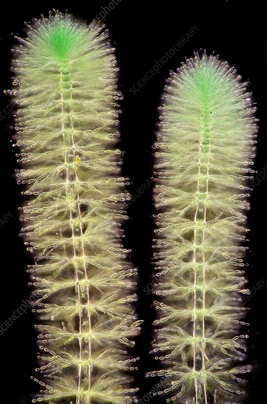 Batrachospermum, Polarized LM