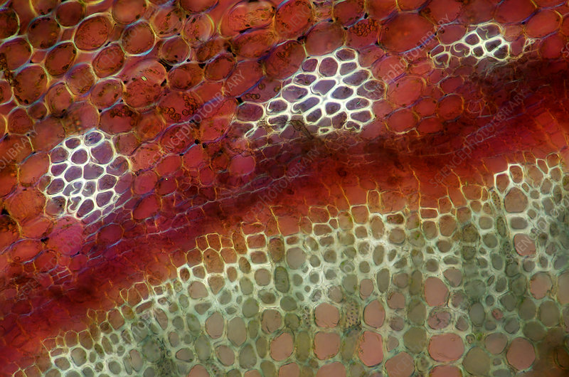 Forsythia Plant Tissue, Polarized LM
