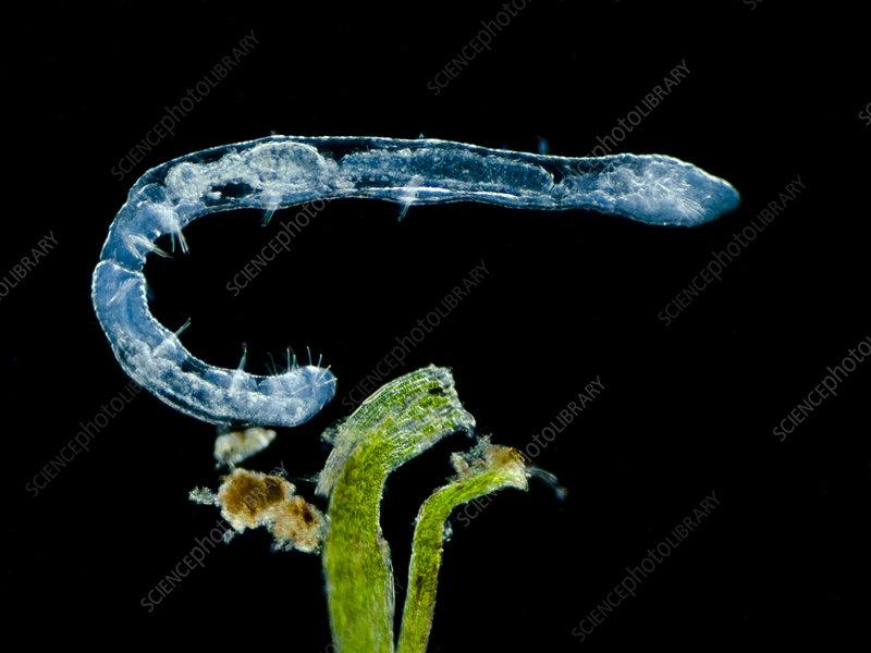 Freshwater worm (Chaetogaster diastrophus), LM