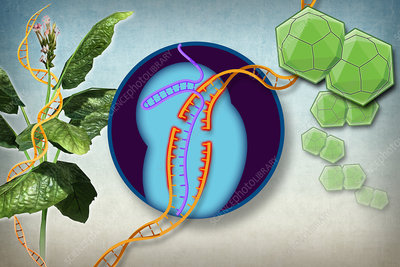 Plant Resistance to Viruses, Gene Editing