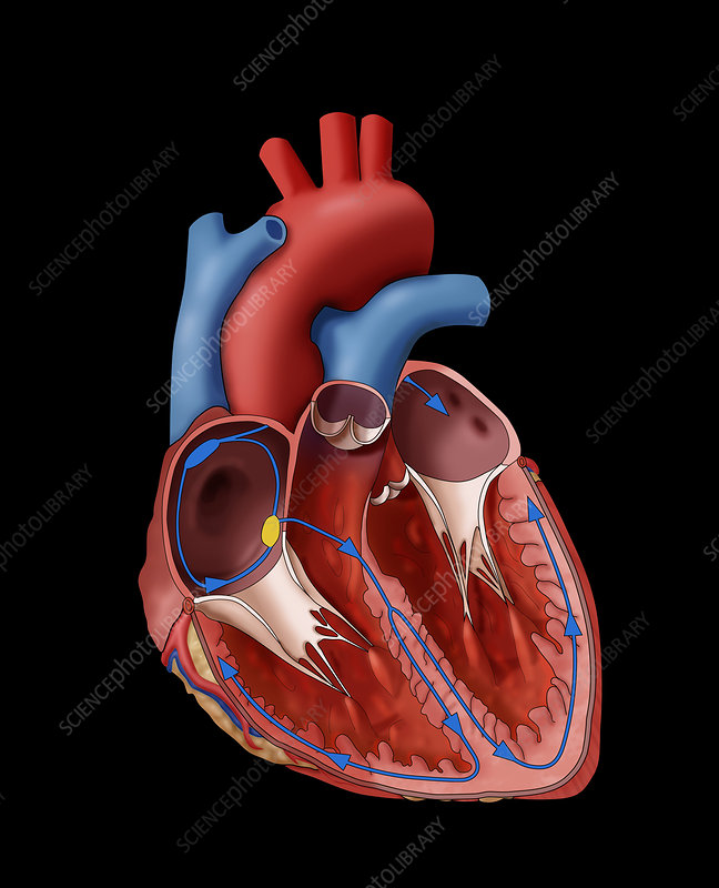 Normal heart electrical system illustration stock image c0306602 normal heart electrical system illustration ccuart Images