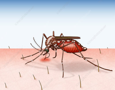 Mosquito Biting, Illustration