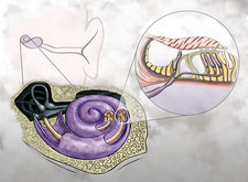 Auditory Hair Cells, Illustration