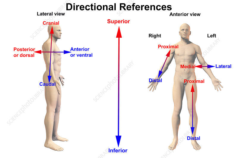 Human Male Figure with Directional Terms - Stock Image C030/6845 ...