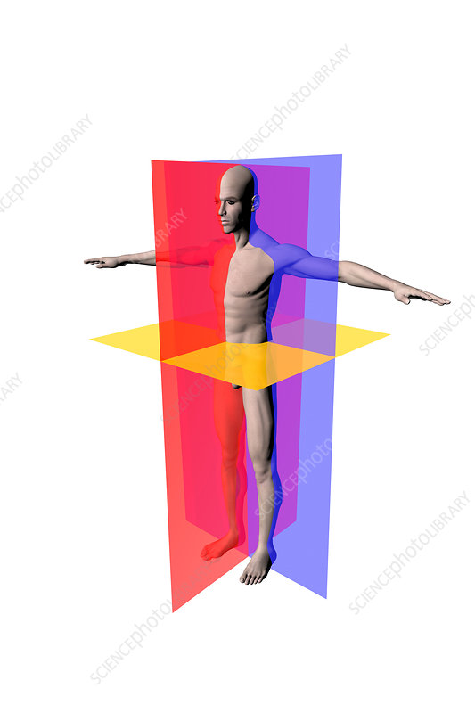 Anatomical Planes Stock Image C0306849 Science Photo Library