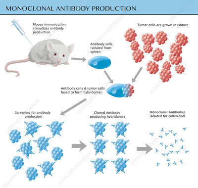 Monoclonal Antibody Production, Illustration