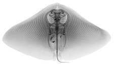 Smooth Butterfly Ray, X-ray