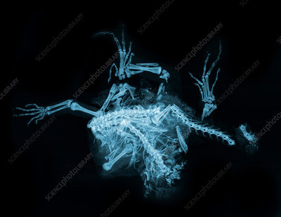 Roadkill Iguana, X-ray