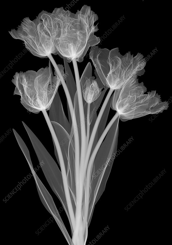 Tulips, X-ray