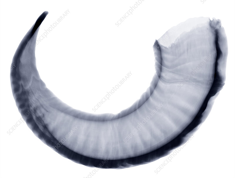 Bighorn Sheep Horn, X-Ray