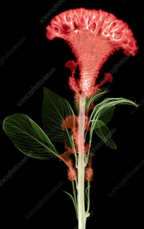 Cockscombs Flower, X-ray