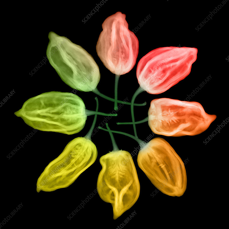 Habanero Chili Peppers, X-ray