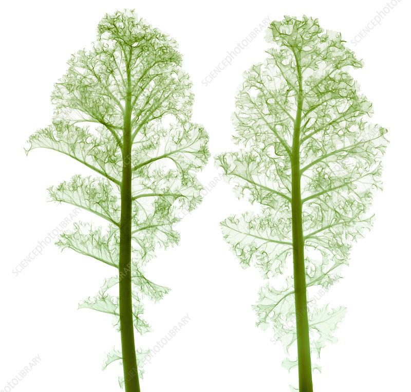 Kale, Brassica oleracea, X-ray