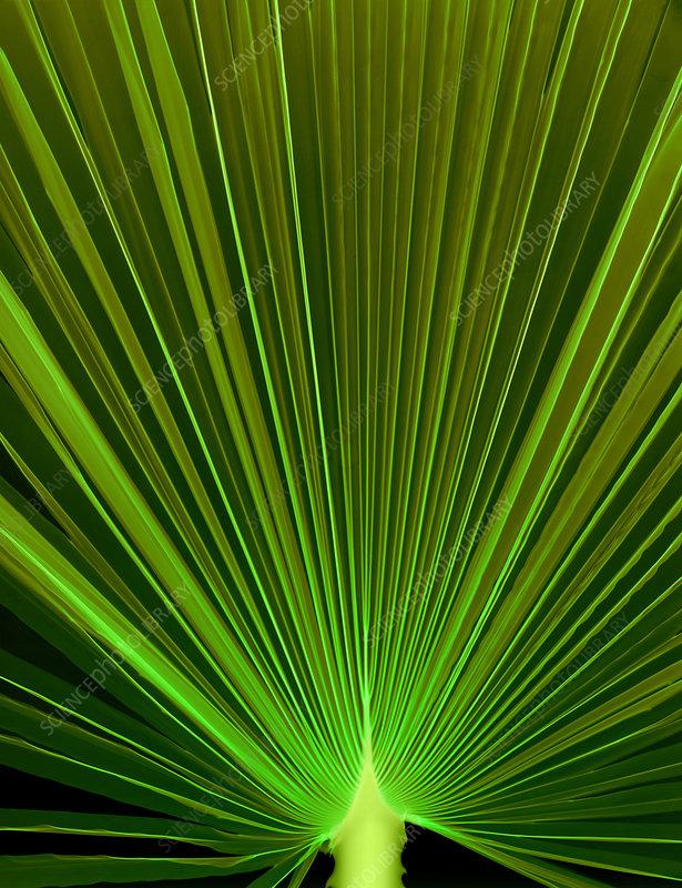 Palm Leaf, X-ray