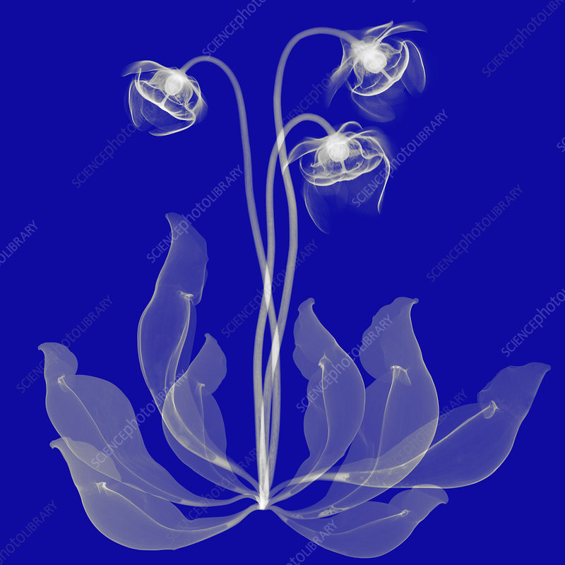 Pitcher Plant Flowers, X-ray