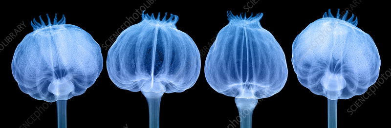 Opium Poppy Pods, X-ray