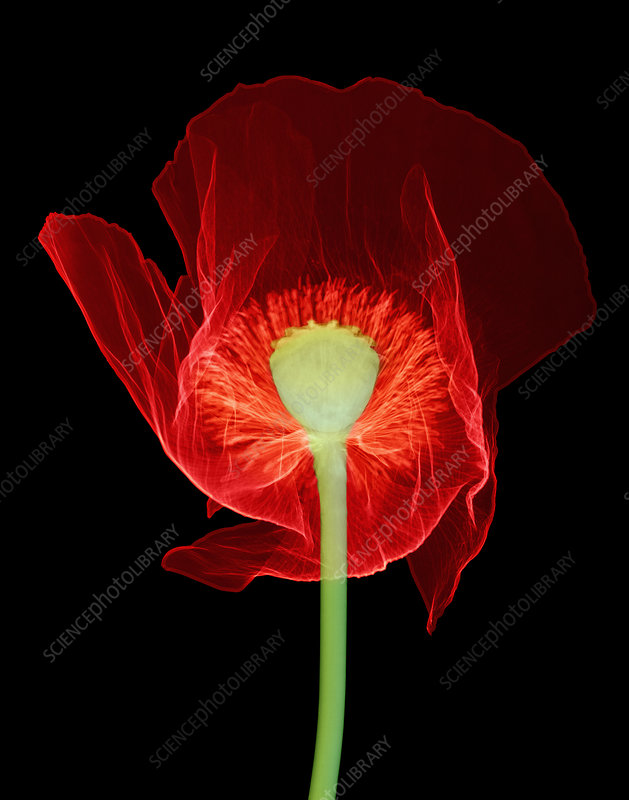 Opium Poppy, X-ray