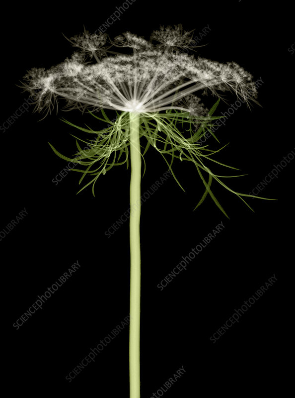 Queen Anne's Lace, X-ray