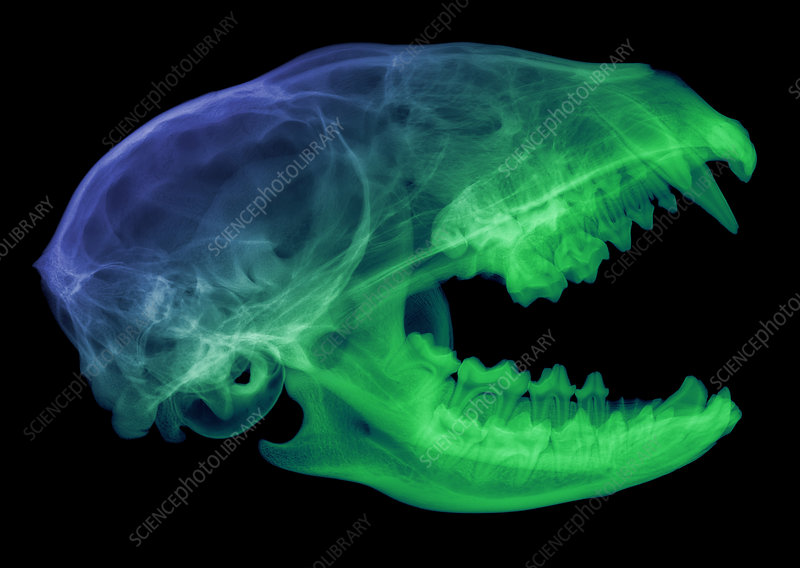 Raccoon Skull, X-ray