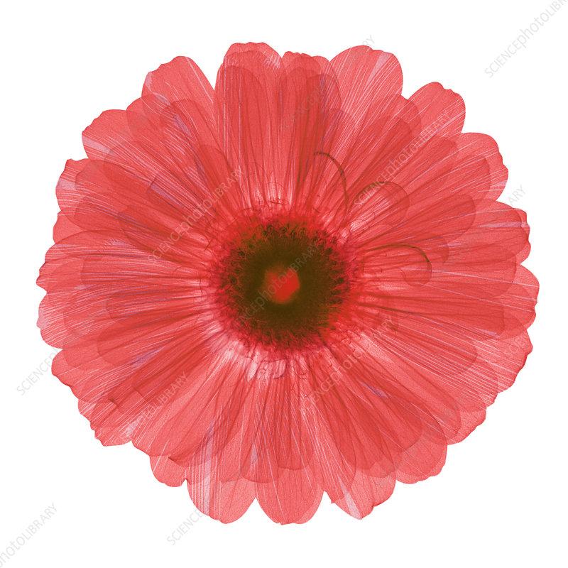 Zinnia Flower, X-ray