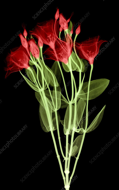 Lisianthus Flowers, X-ray