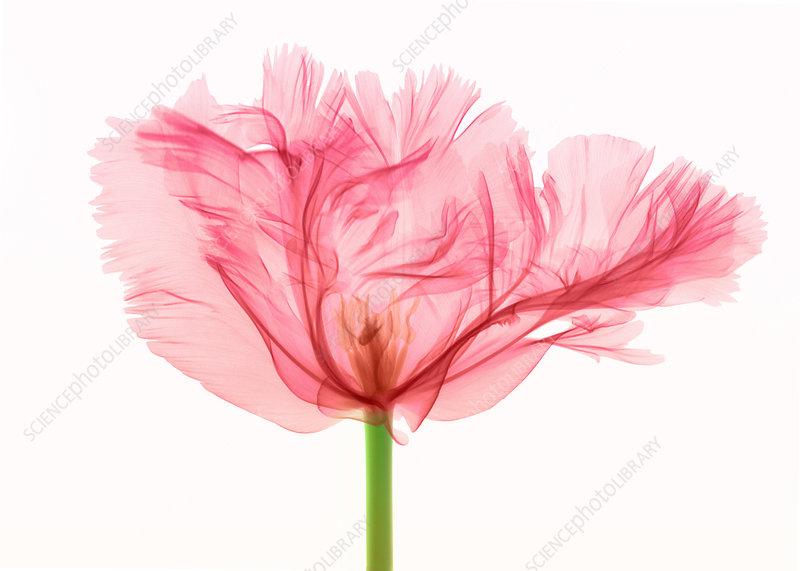 Tulip, X-ray