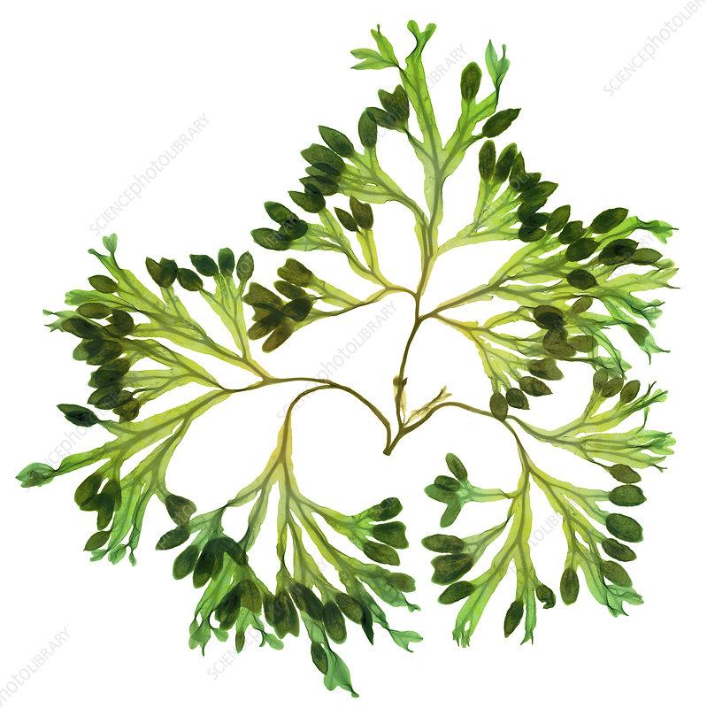 Rockweed Seaweed, X-ray