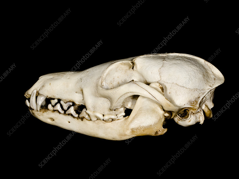 Red fox (Vulpes vulpes) skull