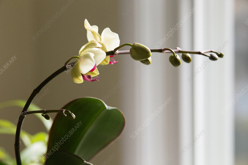 Phototropism of Orchid Bloomstock 2 of 6