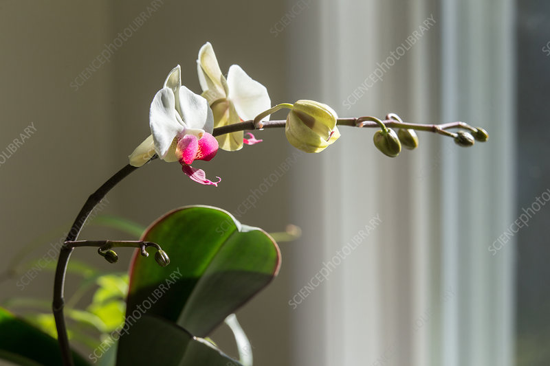 Phototropism of Orchid Bloomstock 3 of 6