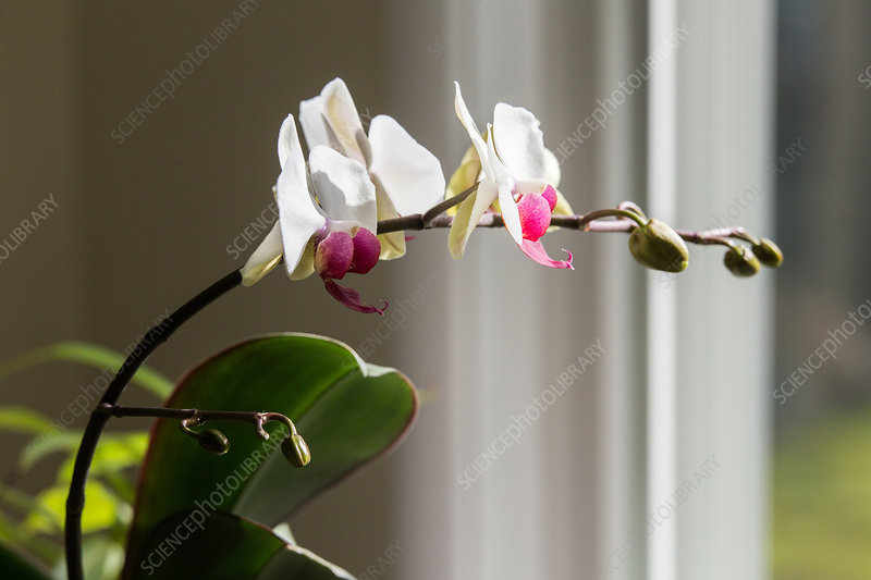 Phototropism of Orchid Bloomstock 4 of 6