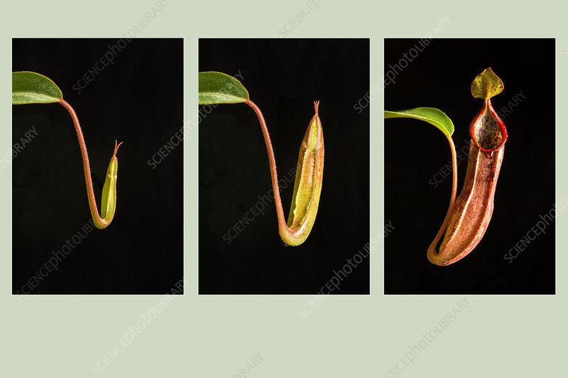Nepenthes Development