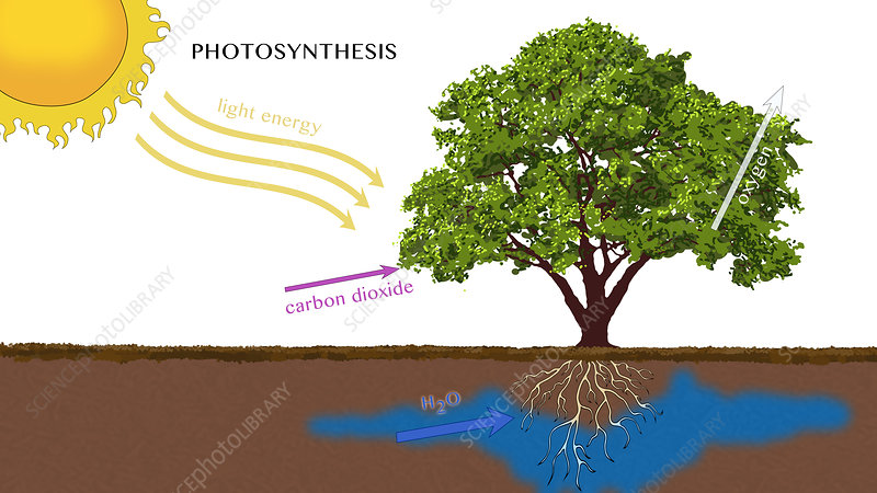 Photosynthesis, Illustration