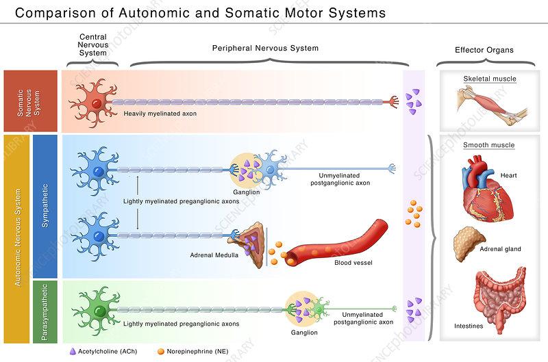 Autonomic and Somatic Motor Systems, Illustration