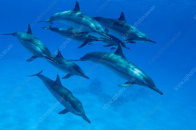 Spinner dolphins, Red Sea, Egypt