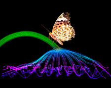 Butterfly on lotus leaf, composite image