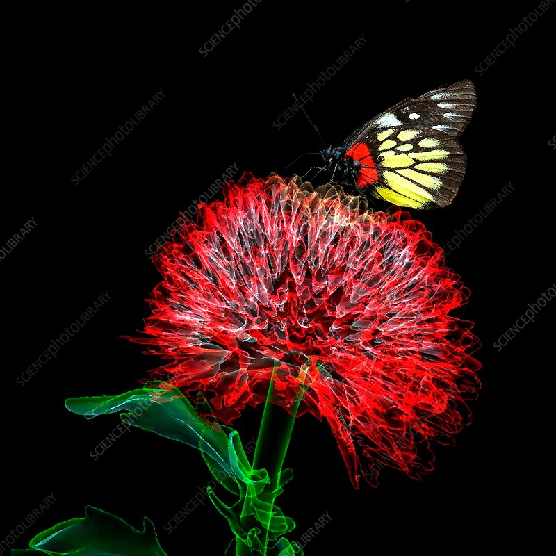 Butterfly on dahlia, composite image