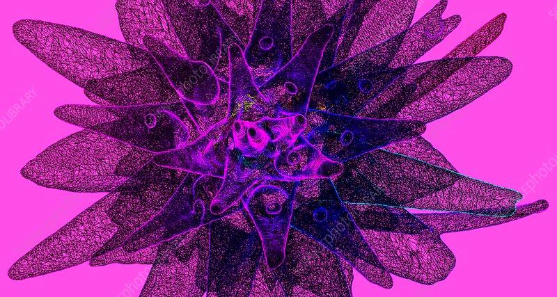 Leucadendron sp. flower, 3D CT scan