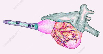 Zebrafish heart, 3D illustration
