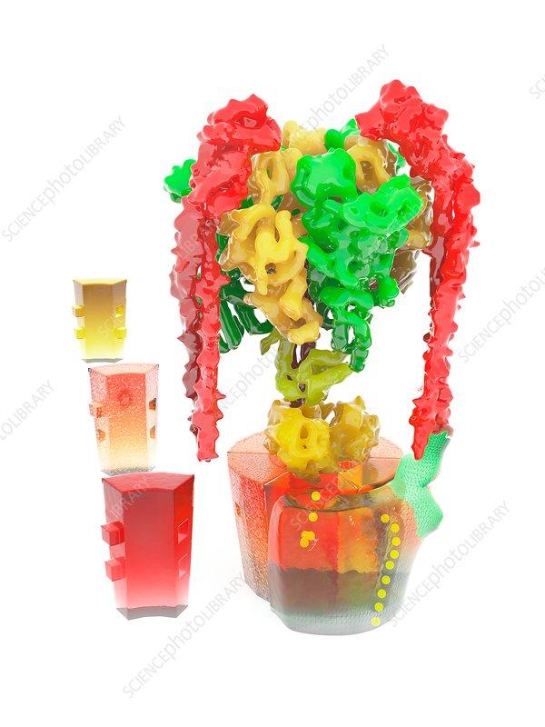 V-ATPase molecule, molecular model