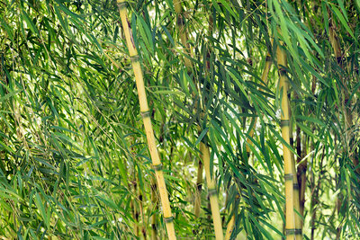Chilean bamboo (Chusquea aff. culeou)