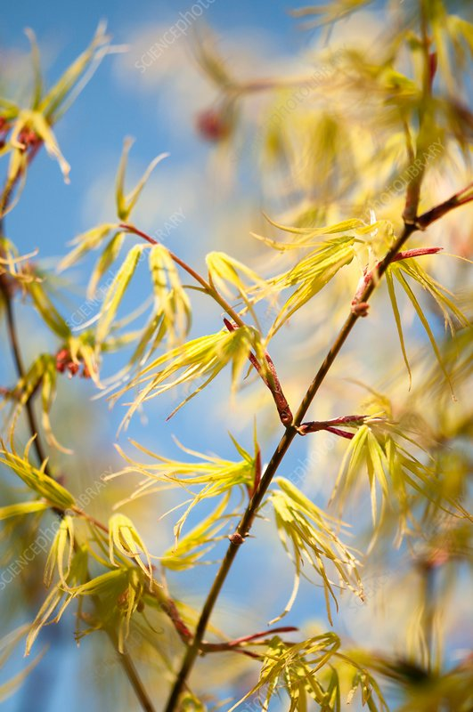 Japanese maple (Acer palmatum 'Blue Sky') foliage